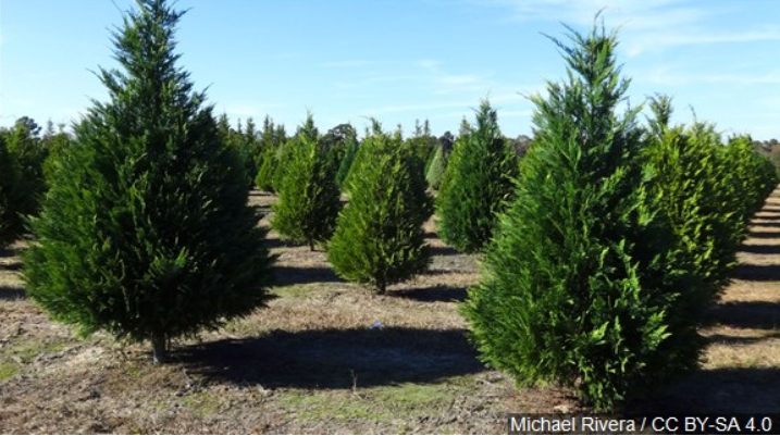 Christmas Tree Lots Reporting Brisk Business in Wisconsin - Fox21Online